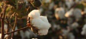 Cotton in a field ready to be harvested.